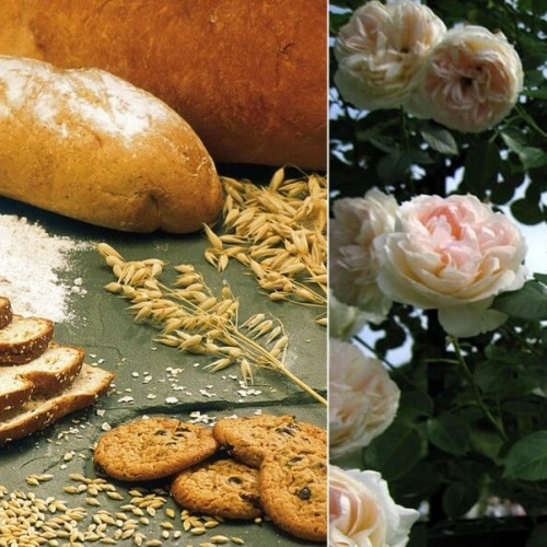 bread-and-roses-e1426627366180